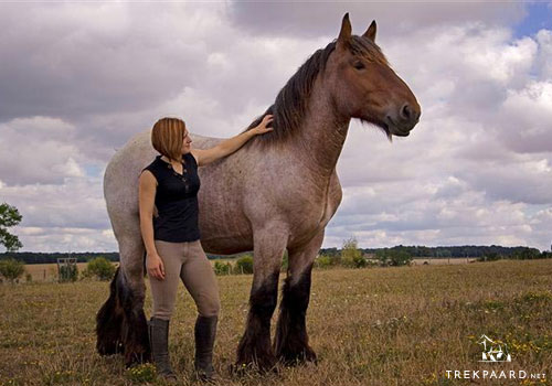 Buying a Belgian Brabant Draft horse