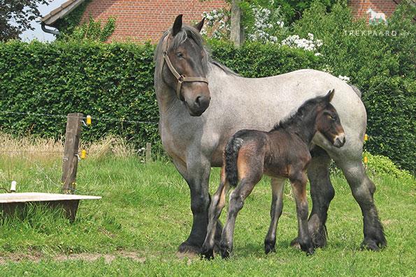 cheval de trait a vendre belgique